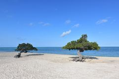 Pretty Look at a Pair of Divi Trees on Eagle Beach in Aruba stock images