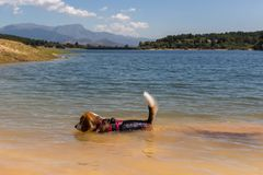 Pretty dog ​​of Beagle breed, swimming in a lake stock photos
