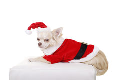 Pretty dog in christmas costume. Pretty dog in santa costume royalty free stock photos