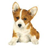 Pretty dog,Corgi Stock Image