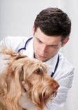 Pretty dog during ear examination Royalty Free Stock Images