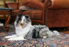 Pretty dog in living room royalty free stock images