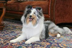 Pretty dog in living room Royalty Free Stock Photography
