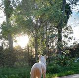 Dog looking at the sunset. A pretty dog looking at the sun in the afternoon. There are trees and plants with flowers and it is a beautiful scene Royalty Free Stock Images