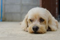 The dog is looking. The pretty dog lying on the floor and looking to something stock photo