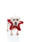 Pretty dog with a red tinsel star Stock Images