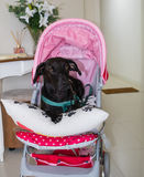 Pretty dog in a stroller Stock Photo