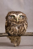 Pretty domesticated owl on a stick, wild, night owl Royalty Free Stock Image