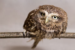 Pretty domesticated owl on a stick, wild, night owl Royalty Free Stock Photo