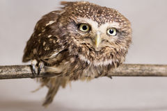 Pretty domesticated owl on a stick, wild, night owl Stock Images