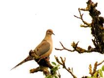 Pretty dove Stock Photo