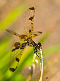Pretty Dragonfly Royalty Free Stock Photography