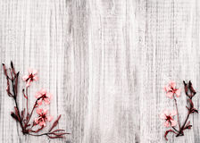 Pretty Dried Rock Rose Flowers on Rustic White Wood Background with room or space for text, copy, or words in the center area. royalty free stock photography