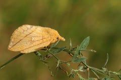 A beautiful Drinker moth Euthrix potatoria perching on a plant stem. Royalty Free Stock Photos