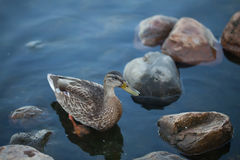 Pretty duck in cold water Royalty Free Stock Photo