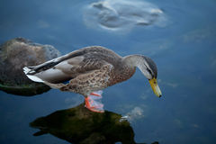 Pretty duck in cold water Stock Photo
