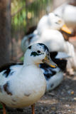 Pretty Duck, Rescued Stock Photography
