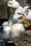 Pretty Duck, Rescued Stock Image