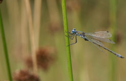 A pretty Emerald Damselfly or common spreadwing Lestes sponsa perched on a reed. Royalty Free Stock Images