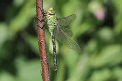 A pretty Emperor Dragonfly Anax imperator  perched on a plant. A Emperor Dragonfly Anax imperator  perched on a plant Royalty Free Stock Photos