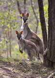 Pretty faced wallabies. A rare pretty faced wallaby with her joey at Cania Gorge, Queensland, Australia Stock Photos