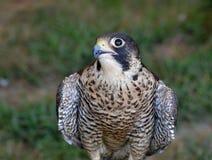 Breathtaking photo of a falcon turning its head stock photo