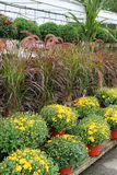 Pretty Fall scene with hardy mums on shelves and in hanging plants Stock Image