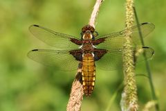 A pretty female Broad-bodied Chaser Libellula depressa perching on a reed. A beautiful female Broad-bodied Chaser Libellula depressa perching on a reed Stock Image