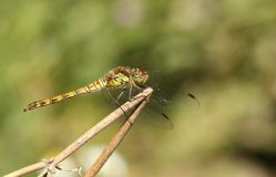 A female Common Darter Dragonfly Sympetrum striolatum perched on a plant. Stock Photos