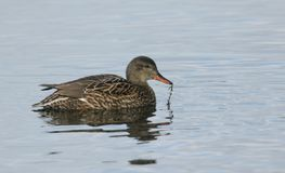 A stunning female Gadwall Anas strepera swimming on a lake feeding on weed. Stock Images