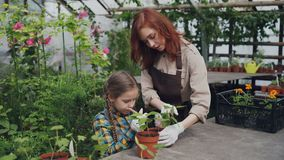Pretty female gardener in apron and her cute child are stirring soil in pot growing plant in greenhouse using gardening. Pretty female gardener in apron and her stock video