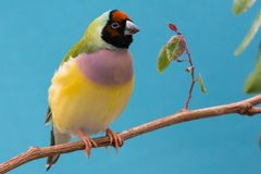Pretty Female Gouldian Finch from Australia Royalty Free Stock Photography