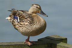 A pretty female Mallard Duck Anas platyrhynchos perching on a wooden fence standing on one leg. A female Mallard Duck Anas platyrhynchos perching on a wooden Royalty Free Stock Image