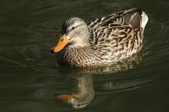A pretty female Mallard Duck Anas platyrhynchos swimming in a river on a sunny winters day. A female Mallard Duck Anas platyrhynchos swimming in a river on a Royalty Free Stock Images