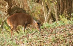 A pretty female Muntjac Deer Muntiacus reevesi feeding on an island in the middle of a lake. A female Muntjac Deer Muntiacus reevesi feeding on an island in the Stock Photos