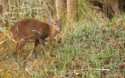 A pretty female Muntjac Deer Muntiacus reevesi feeding on an island in the middle of a lake. A female Muntjac Deer Muntiacus reevesi feeding on an island in the Stock Images