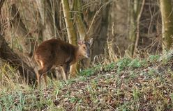 A pretty female Muntjac Deer Muntiacus reevesi feeding on an island in the middle of a lake. A stunning female Muntjac Deer Muntiacus reevesi feeding on an Stock Images