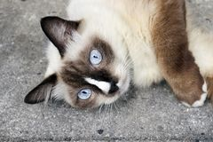 Pretty female siamese cat with blue eyes stock images