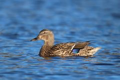 Pretty Female Swimming Mallard Duck. A female mallard duck swimming on a pond. The colored patch on the wing is called a speculum Royalty Free Stock Photo