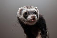 Pretty ferret portrait Stock Image