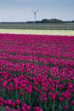 Pretty field of tulips in bloom Royalty Free Stock Photo