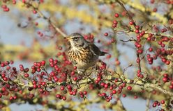 A stunning Fieldfare Turdus pilaris perching on a hawthorn tree eating the berries. A pretty Fieldfare Turdus pilaris perching on a hawthorn tree eating the stock image
