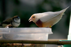 Pretty Finch Stock Images
