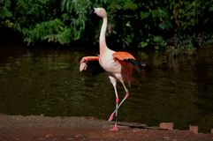 Pretty flamingo from Paignton Zoo. royalty free stock images