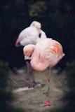 Pretty Flamingo stock image