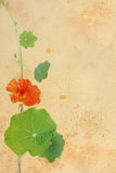 Pretty floral grungy background with nasturtium Stock Photos