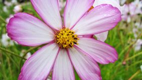 Pretty flower. Flower with water droplets (England Royalty Free Stock Photo