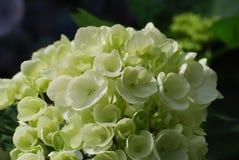 Pretty Flowering White Hydrangea Bush in Bloom Stock Photo