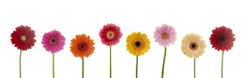 Pretty flowers. Row of colorful flowers isolated on a white background