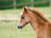 Pretty Foal Stock Photos
